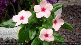 Vinca, Vinca rosea, Catharanthus roseus 02